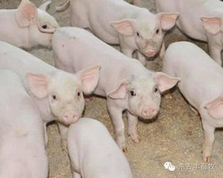 夏季养猪不赚钱?看这几点有没有做到!
