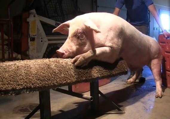 国外科学家全面讲解猪人工授精过程,细节不容错过