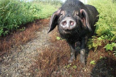 东北民猪.jpg