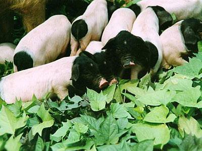 我国常见的本土猪品种介绍 养猪知识 第3张