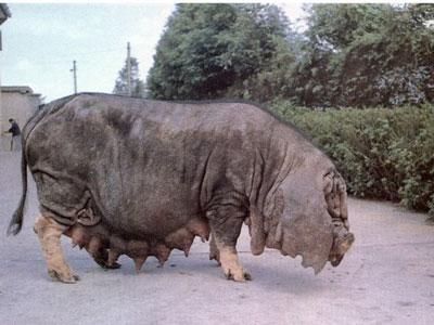 我国常见的本土猪品种介绍 养猪知识