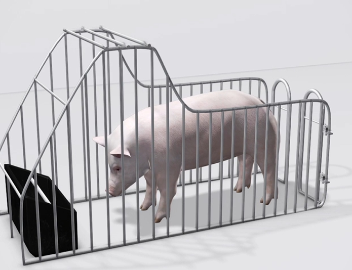 你知道母猪限位栏是如何避免妊娠期母猪流产的吗?