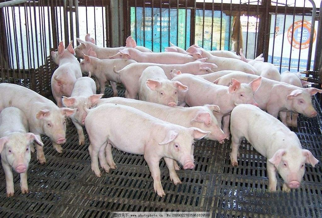 猪场自动分拣系统实例展示