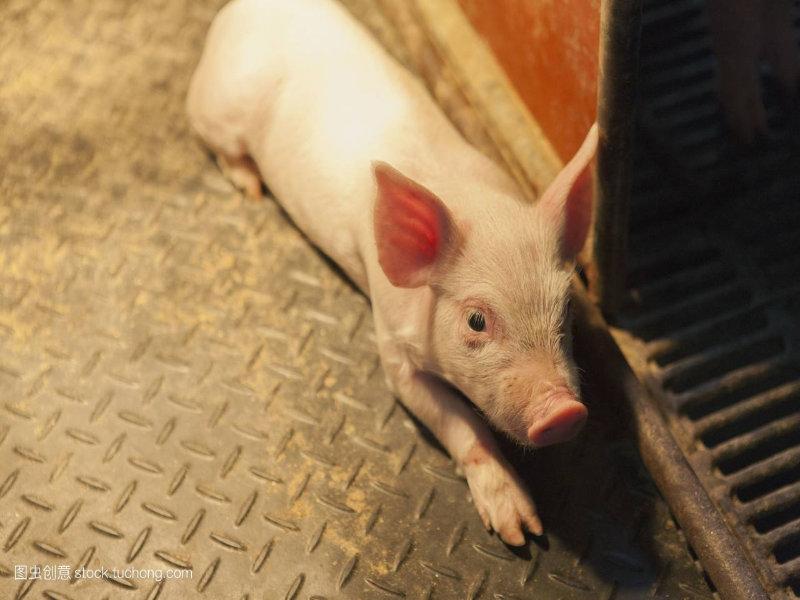 带你了解台湾养猪业的现状