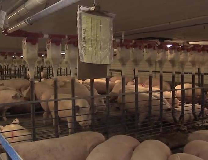 荷兰美女带你了解母猪自由进出限位栏
