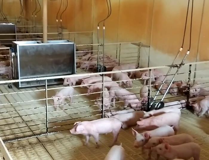 实拍保育舍仔猪一天的生活状态