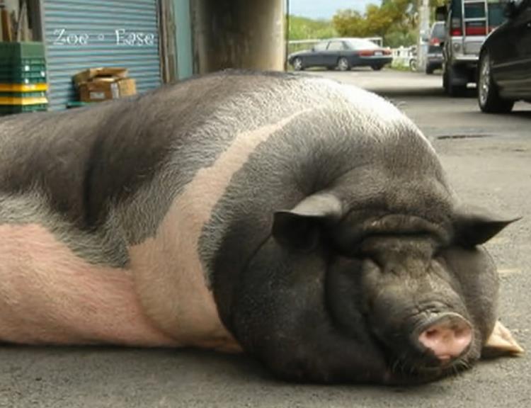 猪巴巴带你见识世界上最大的猪