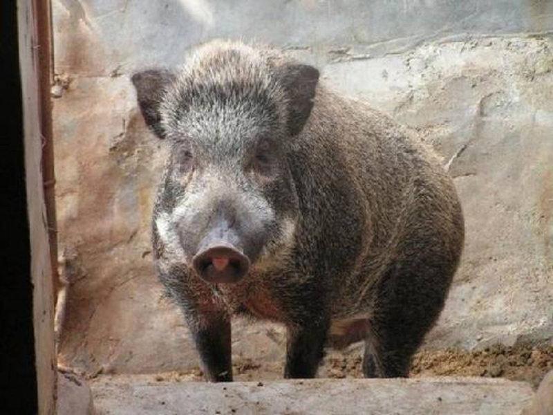 为防止猪流感侵入,一农场主疯狂射杀野猪