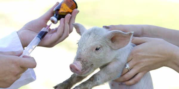 养猪业对抗生素的态度及正确使用指南