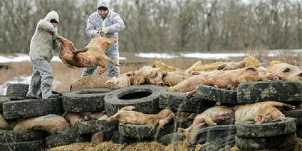 African-swine-fever.jpg