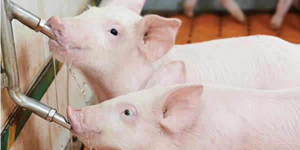 piglets-drinking-1611PIGwater.jpg