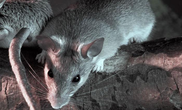 猪场老鼠的危害以及防控