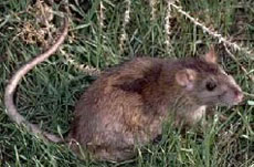 褐家鼠.jpg