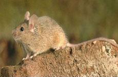 小家鼠.jpg