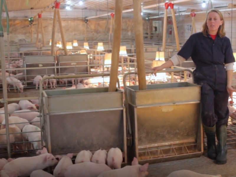 仔猪多少天断奶并添加饲料?