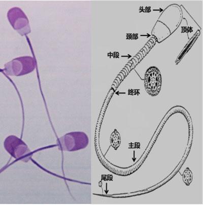 猪精子结构