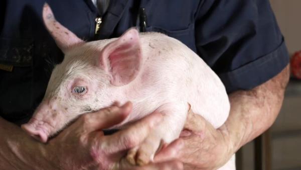 美国养猪冠军教你如何正确养猪