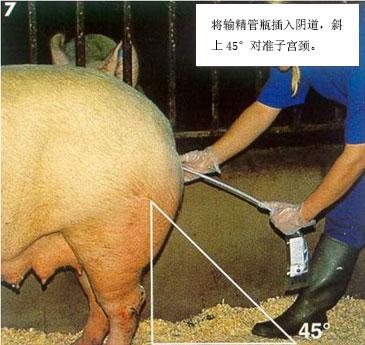 猪人工授精最全步骤以及技术要点 养猪知识