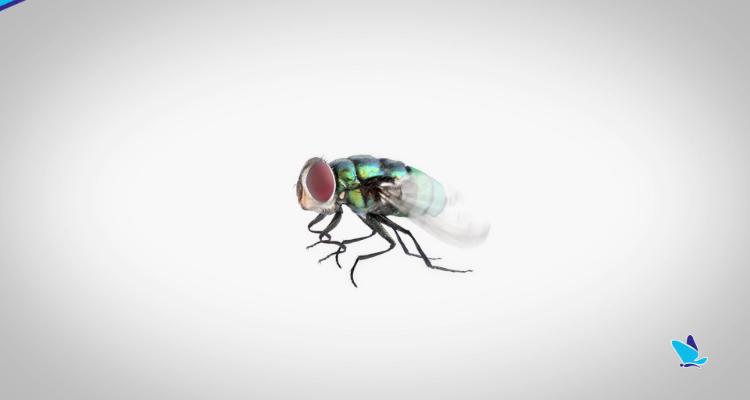 控制猪舍苍蝇数量,减少病毒的传播