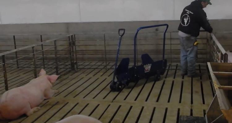 简易型育肥猪捡猪车,一辆就够了!