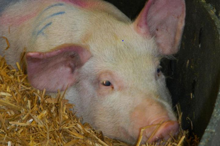 非洲猪瘟的症状以及病理解剖 养猪知识 第8张