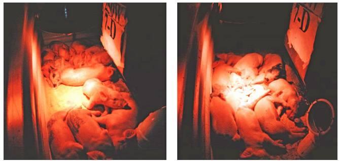 分娩舍红外线加热灯相关问题 养猪知识 第1张
